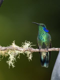 Close-Up of a Green Violetear Hummingbird Perching on Branch  Savegre  Costa Rica