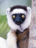 Close-Up of a Verreaux&#39;s Sifaka Lemur  Berenty  Madagascar