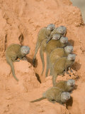 Dwarf Mongooses on a Termite Mound  Tarangire National Park  Tanzania