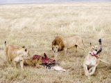 Lion Family Eating a Zebra  Ngorongoro Crater  Ngorongoro  Tanzania