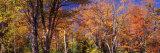 Trees in Autumn  Vermont  USA