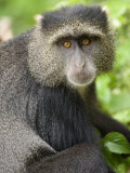 Close-Up of a Blue Monkey  Lake Manyara National Park  Tanzania