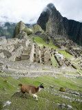 View of Llama with Incan Ruins in the Background  Machu Picchu  Peru