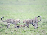 Cheetah Cubs Hunting Thomson's a Gazelle  Masai Mara National Reserve  Kenya