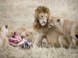 Pride of Lions Eating a Zebra  Ngorongoro Crater  Ngorongoro  Tanzania