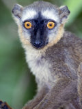 Close-Up of a White-Headed Lemur  Berenty  Madagascar
