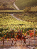 Vineyards  Barbaresco Docg  Piedmont  Italy