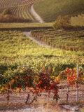 Vineyards  Barbaresco Docg  Piedmont  Italy