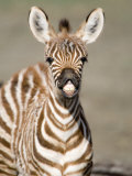 Close-Up of a Burchell's Zebra Foal  Ngorongoro Crater  Ngorongoro  Tanzania