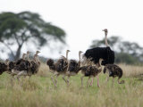 Masai Ostrich with its Chicks in a Forest  Tarangire National Park  Tanzania