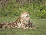 Cheetah Cub Playing with its Mother  Ndutu  Ngorongoro  Tanzania