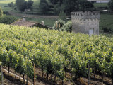 Vineyard Along a Farmhouse  Chateau La Clotte  Bordeaux  France