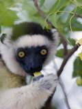 Close-Up of a Verreaux&#39;s Sifaka Lemur Sitting on a Tree  Berenty  Madagascar