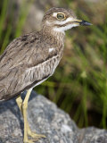 Close-Up of a Water Thick-Knee Bird on a Rock  Tarangire National Park  Tanzania