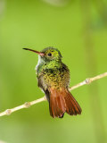 Close-Up of Rufous-Tailed Hummingbird Perching on a Twig  Costa Rica