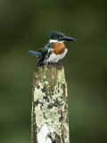 Close-Up of Amazon Kingfisher Perching on a Wooden Post  Cano Negro  Costa Rica