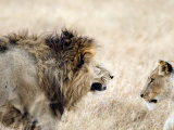 Lion and a Lioness in a Mating Ritual  Ngorongoro Crater  Ngorongoro  Tanzania