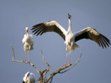 Three White Storks Perching on Branches  Tarangire National Park  Tanzania