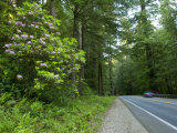 Redwood Trees and Rhododendron Flowers in a Forest  Us Route 199  Del Norte County  California  USA