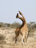 Reticulated Giraffes Necking in a Field  Samburu National Park  Rift Valley Province  Kenya
