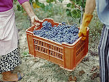 Women Harvesting Grapes in a Vineyard  Barbaresco Docg  Piedmont  Italy