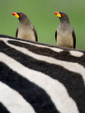 Yellow-Billed Oxpeckers on Top of a Zebra  Ngorongoro Crater  Ngorongoro  Tanzania