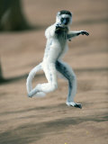 Verreaux&#39;s Sifaka Dancing in a Field  Berenty  Madagascar