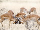 Impalas Fighting in a Forest  Serengeti  Tanzania
