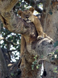 Lioness Rests in a Fig Tree in the Ishasha Area of Queen Elizabeth National Park