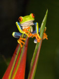 Close-Up of a Red-Eyed Tree Frog Sitting on a Heliconia Flower  Costa Rica