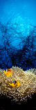 Mat Anemone and Allard's Anemonefish in the Ocean Papier Photo par Panoramic Images
