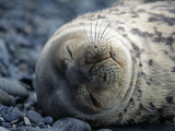 South Shetlands Islands  Half Moon Island  Weddell Seal  Antarctica