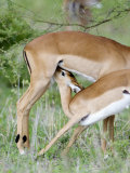 Impala Feeding it's Fawn  Tarangire National Park  Tanzania