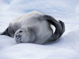 Paradise Bay  Crabeater Seal on an Ice-Floe  Antarctica