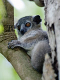 White-Footed Sportive Lemur Sitting on a Tree  Berenty  Madagascar