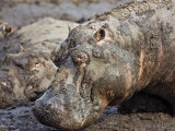 Katavi National Park  Hippos Wallow in Mud  Katuma River Dries at End of Long Dry Season  Tanzania