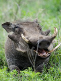 Warthog in a Field  Ngorongoro Crater  Ngorongoro  Tanzania