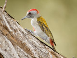 Grey Woodpecker Tapping Tree Trunk  Tarangire National Park  Tanzania