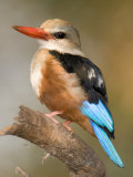 Close-Up of a Grey-Headed Kingfisher Perching on a Branch  Tarangire National Park  Tanzania