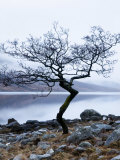 Solitary Tree on the Shore of Loch Etive  Highlands  Scotland  UK