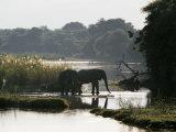 Elephants Drink from the Channel Outside Camp  Lower Zambezi National Park  Zambia