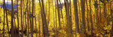 Aspen Trees in Autumn  Colorado  USA