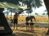 Elephant by John Stevens' Tented Camp  Mana Pools  Zimbabwe