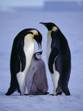 Weddell Sea  Riiser-Larsen Ice Shelf  Emperor Penguins and Chick  Antarctica