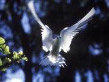 Fairy Tern in Flight  Aride Island