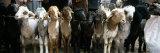 Sheep in a Market  Kashgar  Xinjiang Province  China