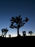 California  Joshua Tree National Park  Joshua Trees  USA
