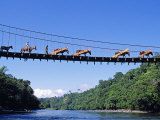 Mule Train Crossing a Bridge over the Rio Upano  Moreno Santiago Province  Ecuador