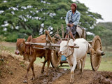 A Burmese Man Drives His Ox Cart to a Dam to Collect Water in Locally Made Wooden Barrel  Myanmar