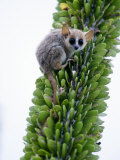 Close-Up of a Grey Mouse Lemur on a Tree  Berenty  Madagascar